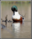 CANARD SOUCHET, mâle   -    NORTHERN SHOVELER   male   _MG_6573