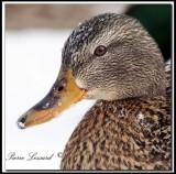 Canard Colvert  femelle   -   Mallard female     _MG_2357a