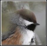Mésange à tête brune  -  Boreal chickadee     _MG_3676a