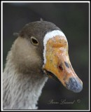 OOIE CENDRÉE -  GRAYLAG GOOSE - IMG_4226