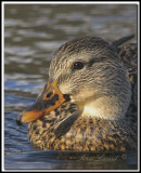 Canard Colvert  femelle   -   Mallard female     IMG_7504