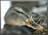 Canard Colvert  femelle   -   Mallard female     _MG_2500a