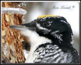 Pic à dos rayé  -  Streak-backed  woodpecker     _MG_3337