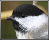 Mésange à tête noire   -   Black-capped chickadee      IMG_7192