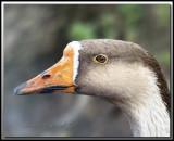 Oie cendrée  -  Graylag goose   IMG_0439