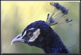 PAON BLEU ( Indien) mâle /   INDIAN PEAFOWL male     IMG_4223