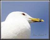 Goéland à bec cerclé  -  Ring-billed gull     IMG_0076