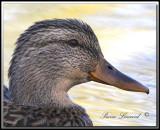 Canard Colvert  femelle   -   Mallard female     IMG_6107