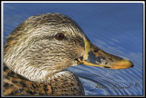 Canard Colvert  femelle   -   Mallard female     IMG_7460