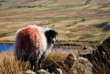 Sheep at Scar House Reservoir