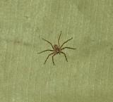 Tent Spider