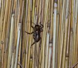 Thatch Bug