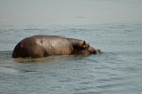 Another Hippo