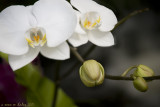 White Orchids - Image Harvesting