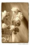 Shadows & Carnations