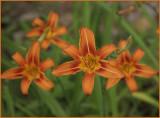 Lilies of Antietam