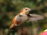 Rufous Hummingbird in Virginia Beach  February 07