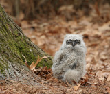 Owl Baby - Great Horned