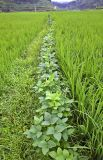 3945 Intercropping mung beans and rice. ***Explanation***