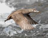 Duck Harlequin D-051.jpg