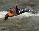 Duck Harlequin D-055.jpg