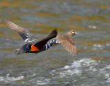 Duck Harlequin D-057.jpg