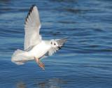 Gull, Bonaparte's #2