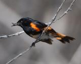 Redstart, American
