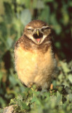 Owl Burrowing S-109.jpg