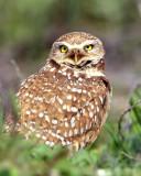 Owl Burrowing S.jpg