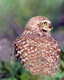 Owl Burrowing S-.jpg