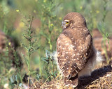 Owl Burrowing S-069A.jpg
