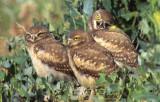 Owl Burrowing S-119.jpg