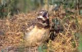 Owl Burrowing S-100.jpg
