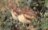 Owl Burrowing S-122.jpg