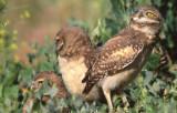 Owl Burrowing S-123.jpg