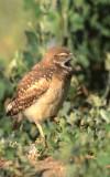 Owl Burrowing S-125.jpg