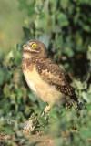 Owl Burrowing S-126.jpg