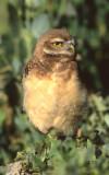 Owl Burrowing S-129.jpg