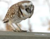 Owl Burrowing D-008 P.jpg