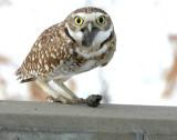 Owl Burrowing D-011 P.jpg