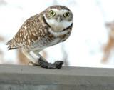 Owl Burrowing D-012 P.jpg