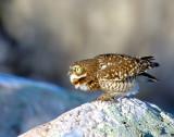 Owl Burrowing D-004.jpg