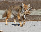 Coyote (Canis Iatrans)