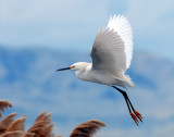 Egret, Snowy