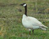 Geese, Canada (leucistic)