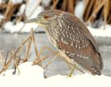 Night Heron, Black-Crowned (Juvenile)