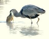Heron, Great-Blue #2