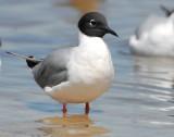 Gull, Bonaparte's
