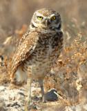 Owl Burrowing D-033.jpg